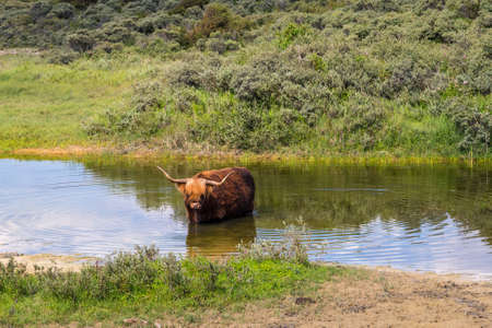 Aberdeen Angus Shetland cow relaxing in a pond Stock Photo