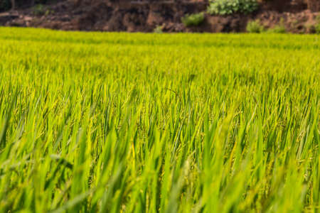 Green rice paddy in India. Shallow depth of field