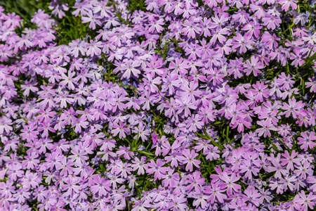 Full frame background of small pink flowers in a garden 免版税图像