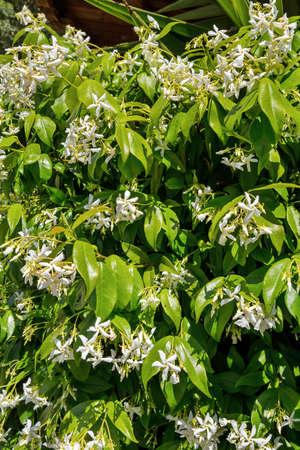 Blooming jasmine bush in a garden
