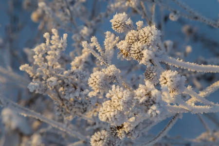 Dry plants covered with hoarfrost shining in the sun. Winter background