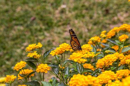 Monarch butterfly feeding on yellow  flowers in a garden 免版税图像