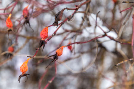 Dog rose fruit dried on a bush on the background of snowdrifts