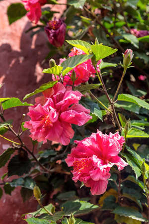 Double-flowered pink hibiscus in a garden