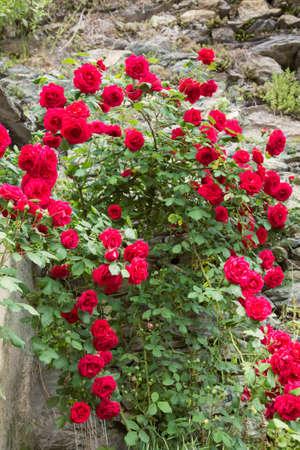 Red roses in a garden 免版税图像