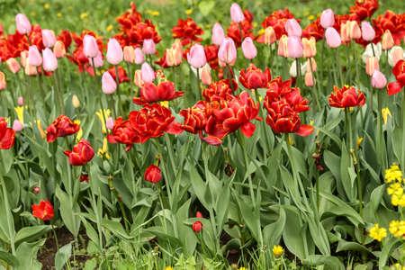 Spring flowers in a garden. Multicolored tulips 免版税图像
