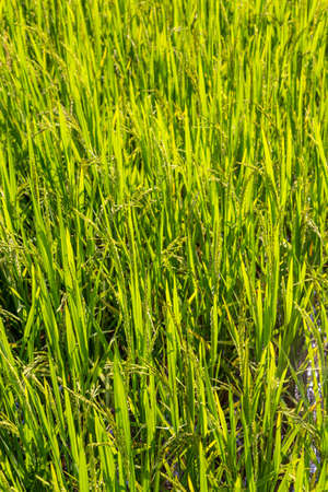 Full frame backgound of rice ripening in a paddy. Shallow depth of field
