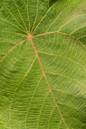 Big leaf of a tropical plant. Full frame background