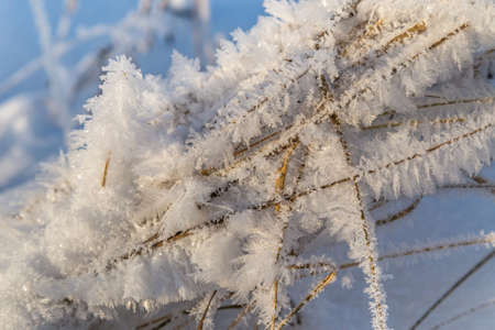 Dry plant covered with hoarfrost shining in the sun. Winter background 免版税图像
