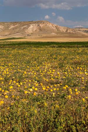 Pumpkins ripening in a field