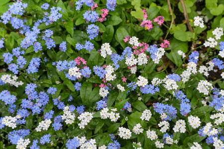 Spring flowers in a garden. Myosotis, also known as forget-me-not 免版税图像
