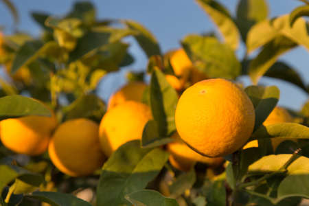 Ripe oranges on a tree. Sunny day in Italy