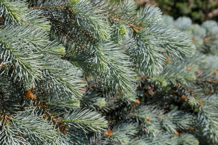 Close up of blue spruce branches