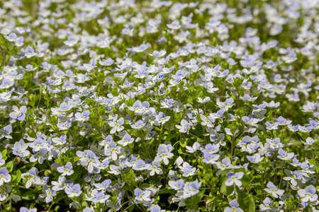 Full frame background of small light blue flowers in a garden
