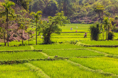 Green rice fields with scarecrows. Goa, India