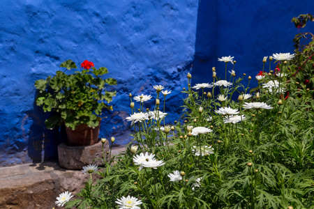 White chrysanthemums in a garden 免版税图像