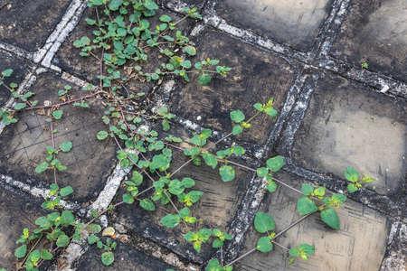 Creeper plants on paving stones. Full frame background