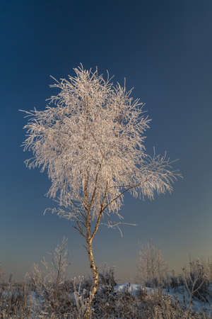 Young birch tree covered with hoarfrost on the background of blue sky. Sunny winter day