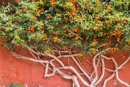 Bush of lantana flowers against a wall
