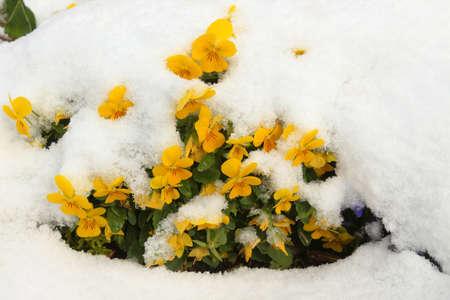 Yellow viola flowers under the fresh snow