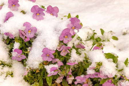 Pink viola flowers under the fresh snow