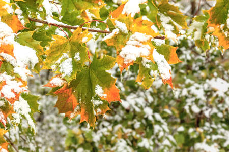 Green and yellow maple leaves covered with fresh snow 免版税图像