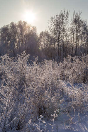 Winter landscape. Dry plants covered with hoarfrost shining in the sun