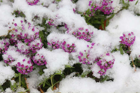 Small pink flowers under the fresh snow