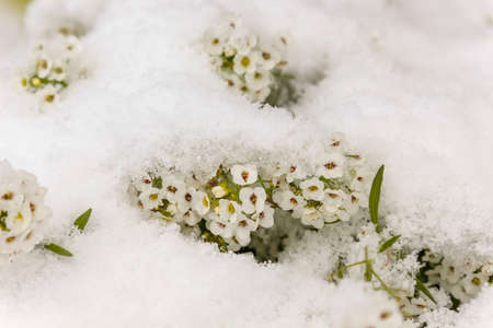 Small white flowers under the fresh snow