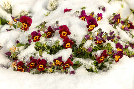 Purple and yellow viola flowers under the fresh snow 免版税图像