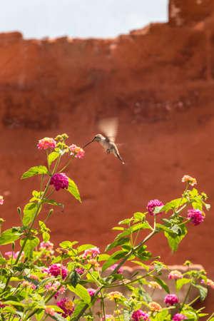 Giant Hummingbird (Patagona gigas) feeding on lantana flowers