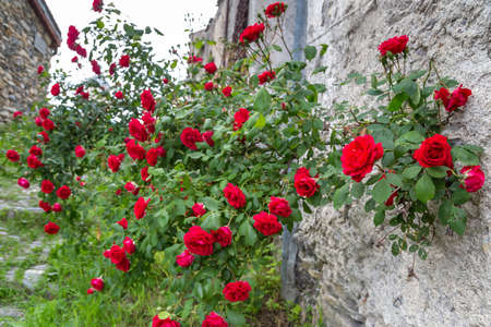 Red roses in a garden Standard-Bild