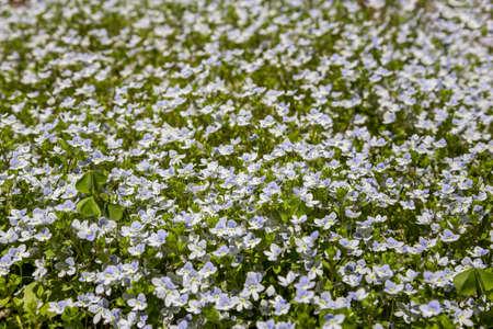 Full frame background of small light blue flowers