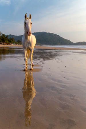White horse on a beach in India at the sunset