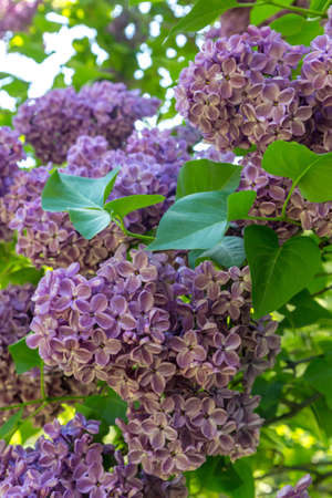 Blooming lilac in a garden