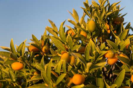 Ripe kumquats on a tree. Sunny day in Italy