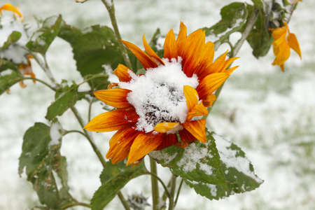 Sunflower under fresh snow