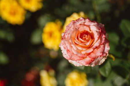 rose bush: pink rose bush on a background of green shrubs.