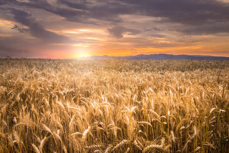 starvation: Beautiful sunset over a wheat field