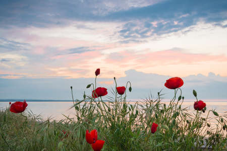 Poppies on the sea shore at sunrise Stock Photo