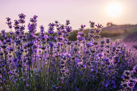Close up of blooming lavender flowers under the rays of the going down sun. Stock Photo