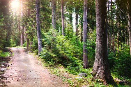 Ścieżka wijąca się przez las sosnowy. Promienie słoneczne przebijające się przez drzewa.