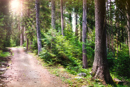 A path winding through a pine forest. Sun rays breaking through the trees.
