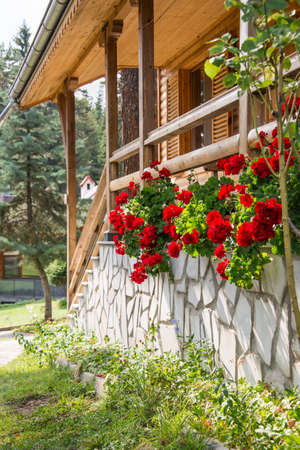 Sunny verandah of a wooden house decorated with red geranium in full blossom.