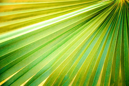 Close up of green palm leaf. Abstract backgrouind. Stockfoto