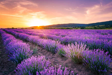 Blooming lavender field under the red colors of the summer sunset Stockfoto