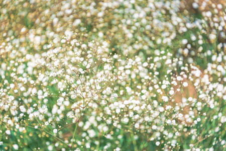 Close up of gypsophilia flowers, Abstract nature background.