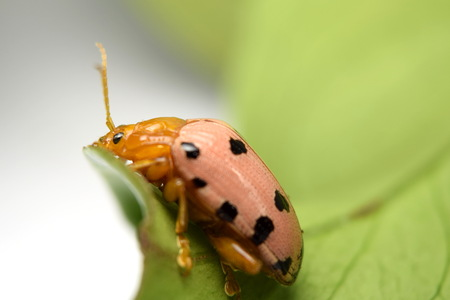 spotted: Crioceris duodecimpunctata (Spotted Asparagus Beetle)