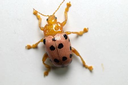 spotted: Crioceris duodecimpunctata (Spotted Asparagus Beetle)