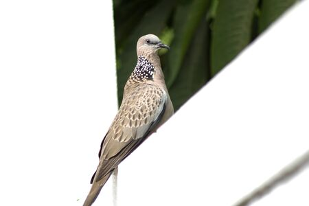 spotted: Spotted Dove